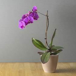 Photo d'orchidée Phalaenopsis